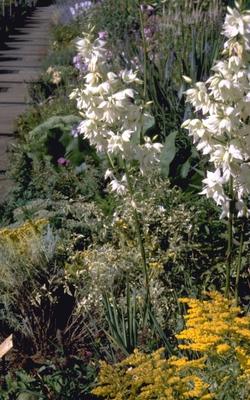 Palmlelie - Yucca filamentosa 'Schellenbaum'