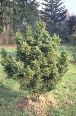 Japanse cipres - Cryptomeria japonica 'Pygmaea'