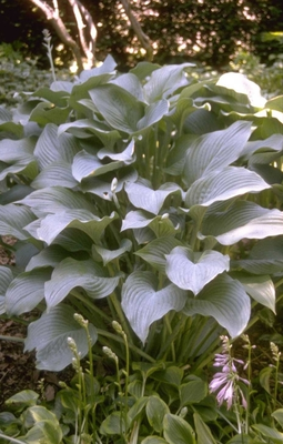 Hartlelie - Hosta 'Krossa Regal'