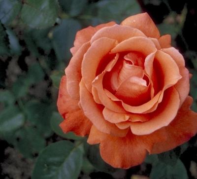 Grootbloemige roos - Rosa 'Alexander'