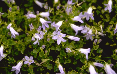 Klokjesbloem - Campanula portenschlagiana 'Lieselotte'