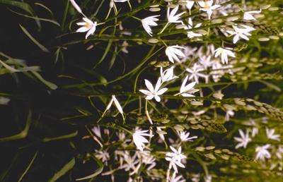 Anjer - Dianthus knappii