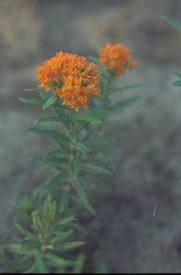 Knolzijdeplant - Asclepias tuberosa