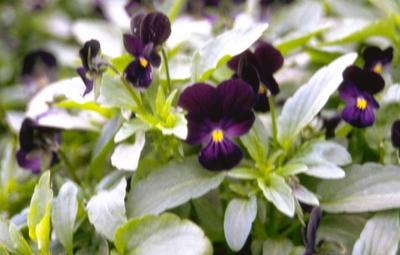Driekleurige viooltje - Viola tricolor 'Nigra'