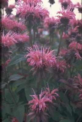 Bergamotplant - Monarda 'Balance'