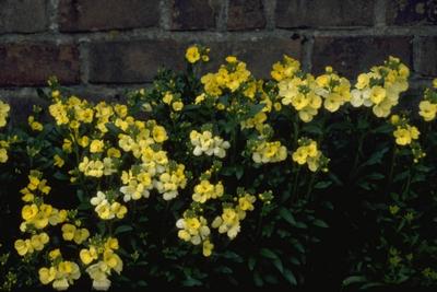 Steenraket - Erysimum 'Primrose'
