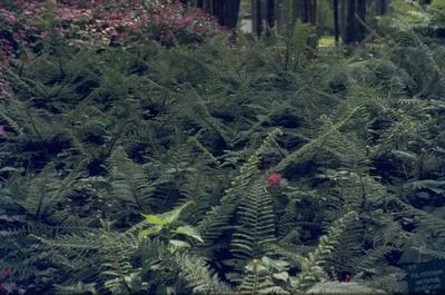 Zachte naaldvaren - Polystichum setiferum