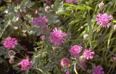 Korenbloem - Centaurea scabiosa