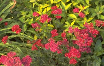 Gewoon duizendblad - Achillea millefolium 'Sammetriese'