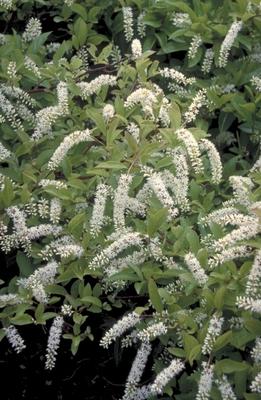 Bloemwilg - Itea virginica 'Henry's Garnet'