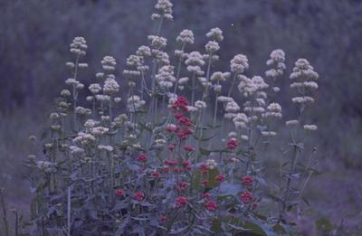 Witte spoorbloem - Centranthus ruber 'Albus'