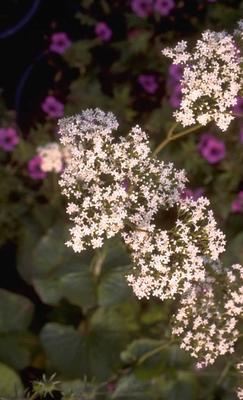 Valeriaan - Valeriana Alliariifolia