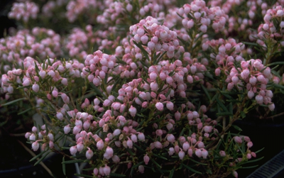 Lavendelhei - Andromeda polifolia 'Nikko'