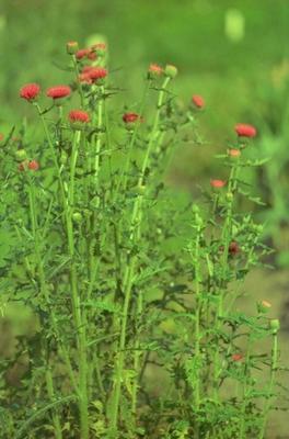 Cirsium japonicum 'Rose Beauty'