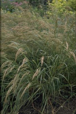 Diamantgras - Stipa calamagrostis