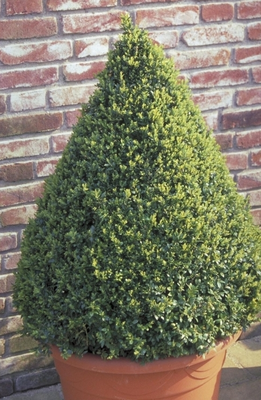 Palmboompje - Buxus sempervirens 'Pyramide'