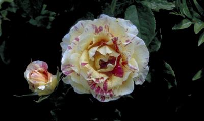 Grootbloemige roos - Rosa 'Claude Monet'
