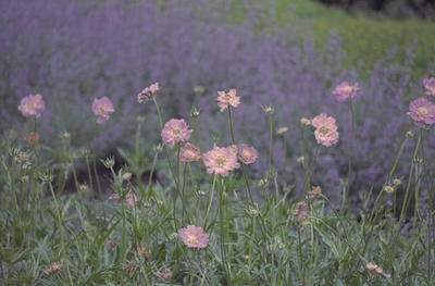 Kaukasisch duifkruid - Scabiosa caucasica 'Clive Greaves'