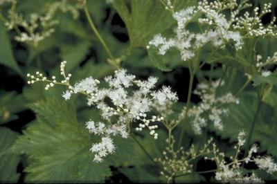 Moerasspirea - Filipendula purpurea 'Alba'