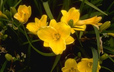 Daglelie - Hemerocallis 'Stella de Oro'