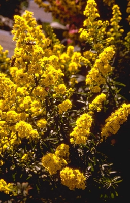 Guldenroede - Solidago 'Septembergold'