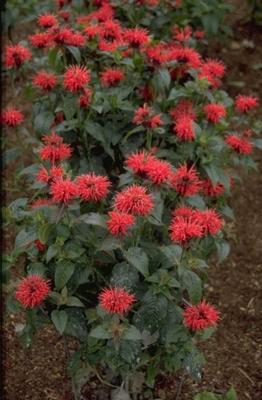 Bergamotplant - Monarda 'Mrs Perry'