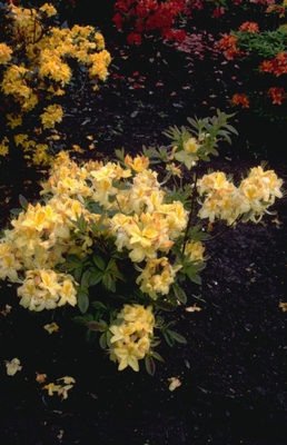 Rododendron - Rhododendron 'Golden Sunset'