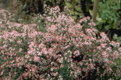 Ridderspoor - Delphinium 'Finsteraarhorn'
