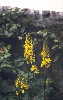 Kruiskruid - Ligularia 'Weihenstephan'