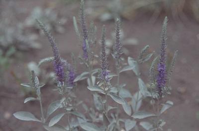 Aar ereprijs - Veronica spicata subsp. incana