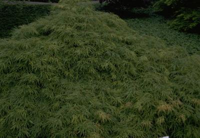 Japanse Esdoorn - Acer palmatum 'Dissectum'
