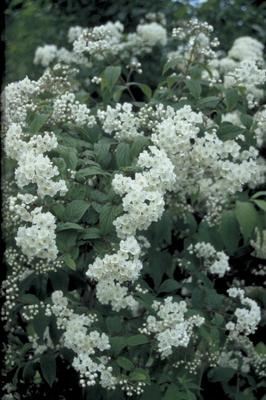 Bruidsbloem - Deutzia compacta
