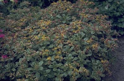 Sedum kamtschaticum 'Variegatum'