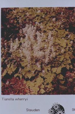 Schuimkaars - tiarella polyphylla