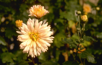 Chrysant - Dendranthema 'Apricot'