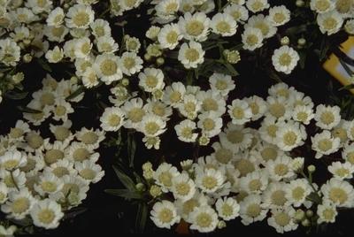 Wilde bertram - Achillea ptarmica 'Nana compacta'