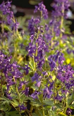 Ridderspoor - Delphinium tricorne