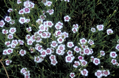 Steenanjer - Dianthus deltoides 'Arctic Fire'