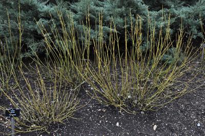Canadese kornoelje - Cornus stolonifera 'Flaviramea'