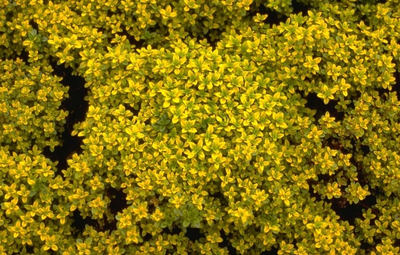 Citroentijm - Thymus x citriodorus 'Bertram Anderson'