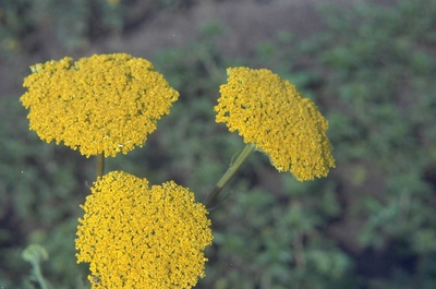 Duizendblad - Achillea 'Coronation Gold'