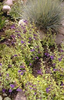 Glidkruid - Scutellaria hastifolia