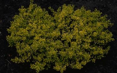 Japanse hulst - Ilex crenata 'Golden Gem'