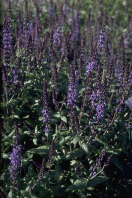 Salie - Salvia x sylvestris 'Blaukönigin'