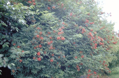 Trosvlier - Sambucus racemosa