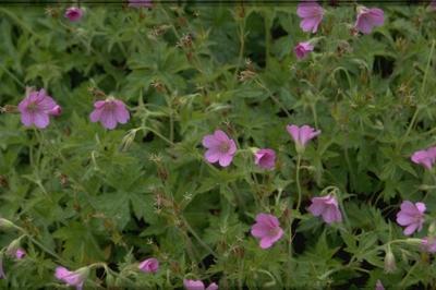Ooievaarsbek - Geranium endressii 'Beholders Eye'