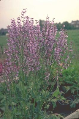 Veldsalie - Salvia pratensis var. haematodes