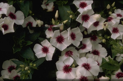 Phlox 'Palona White with Eye'