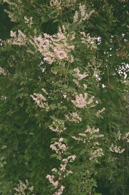 Bruidsluier - Fallopia aubertii