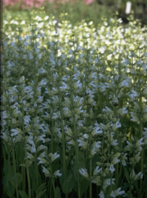 Echte salie - Salvia officinalis 'Albiflora'
